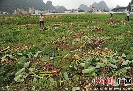 图为民警在9月21日的芋头被盗的案发现场勘查。警方供图