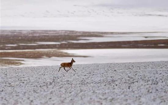 ▲这是羌塘自然保护区安多县境内的小藏原羚(6月23日摄)