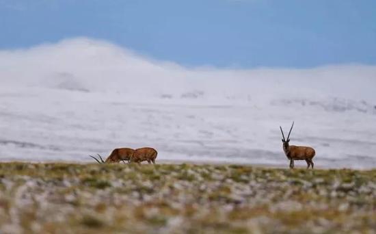 ▲这是羌塘自然保护区安多县境内的藏羚羊(6月23日摄)