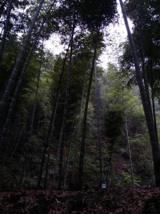 发现两个孩子遗体的平地,竹林高耸密集。