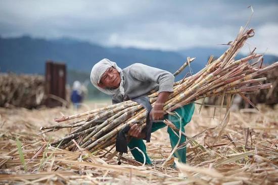 菲律宾农民在收割糖蔗,图片:DEDDEDA