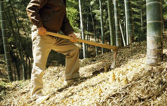 武汉修改和废止8件地方性法规,挖笋剥树皮可能算毁林。视觉中国 资料图