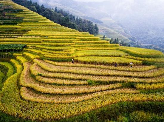 广西龙胜龙脊梯田。 视觉中国 图