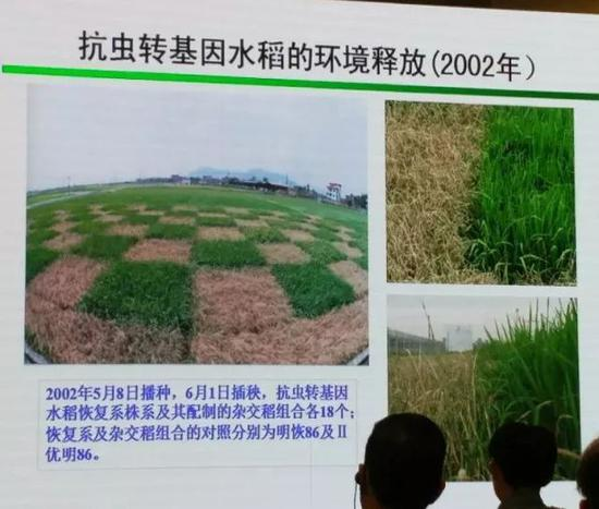 ▲图为16年前我国就已经研制出的抗虫转基因水稻与非转基因水稻的种植对比图,枯萎的都是非转基因的水稻,而转基因水稻则很好地抵御了虫害。然而,我国全球领先的转基因水稻技术,却至今不被允许商业化种植……