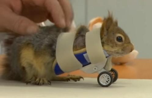 视频:截肢小松鼠穿上特制轮椅 依然活蹦乱跳乐观向