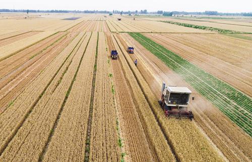 (6月8日,在河北省衡水市枣强县北杨庄村,小麦收割机和两台拖拉机在麦田作业。)