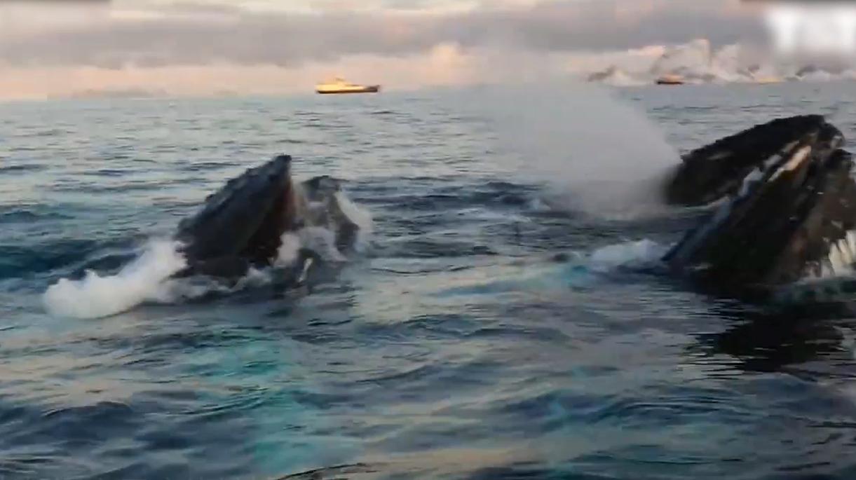 视频:OMG距离仅3米!观鲸者偶遇六头座头鲸捕食鲱鱼的精彩画面