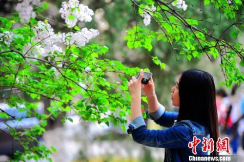 资料图:山东师范大学千佛山校区丁香花团团簇簇盛放。 秋歌 摄