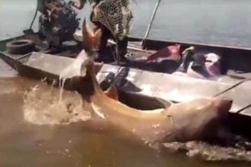 渔民捕获1028斤大鳇鱼 价值20万元