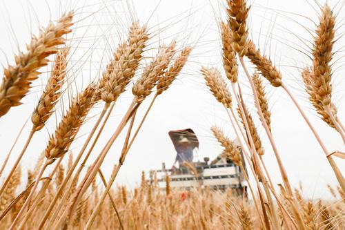 (6月6日,农民驾驶收割机在江苏省淮安市盱眙县古桑街道季安村的麦田里收割小麦。)