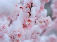 北京4月飘雪 长峪城桃花映雪美如画