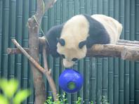 """功夫熊猫了解一下!北京奥运大熊猫""""球技""""功夫高!"""