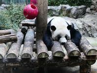 北京降雪气温下降 大熊猫室内卧倒避寒
