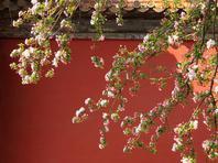 北京海棠花开紫禁城