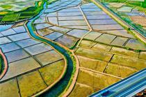 祁連山下水稻美景