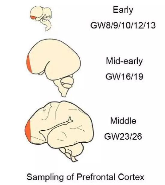 ↑研究团队首次揭示在人类大脑前额叶皮层发育过程中兴奋性神经元生成、迁移和成熟的三个关键阶段。