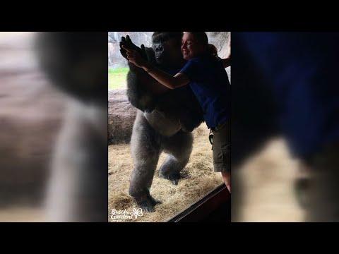 大猩猩神同步模仿驯兽师 倒立劈叉扭臀似在尬舞