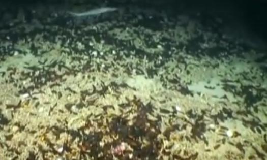 """视频:罕见! 深海里惊现鲨鱼""""育儿所"""""""