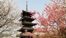 武汉的樱花都开好了