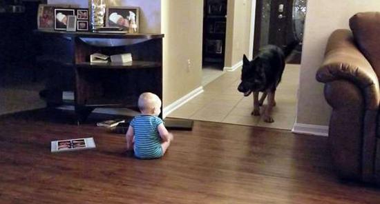 视频:萌翻!美国一牧羊犬与11月大婴儿追逐嬉闹