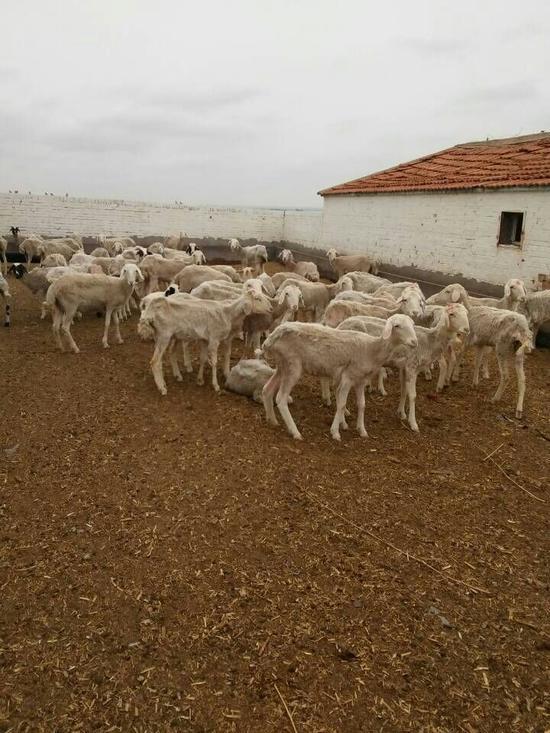 吉木斯养殖场的病羊。她已记不清楚是2014年还是2015年拍摄的。吉木斯供图