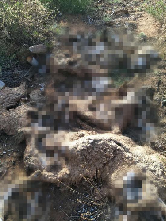 5月29日,吉木斯2014年借用的养殖场内遗弃的部分死羊。吴跃伟 图