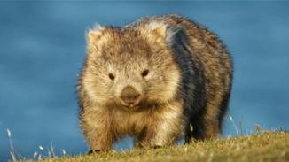 提供巢穴避火 袋熊成为澳洲动物界英雄