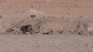 动物世界!狮子悄悄潜伏在水池边偷袭豹子