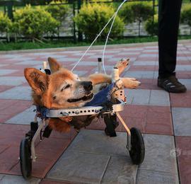 19岁小狗瘫痪 主人自制轮椅照顾