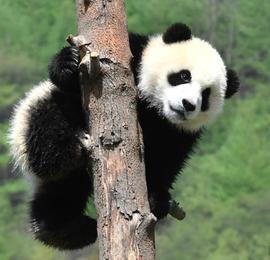 """熊猫""""幼儿园""""开班了 国宝们春光中撒欢卖萌"""