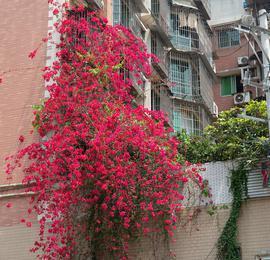 """重庆现10米高""""鲜花瀑布""""飞流直下3层楼"""
