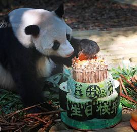 """大熊猫""""秋浜""""迎来16岁生日 视频连线双胞胎哥哥庆祝"""