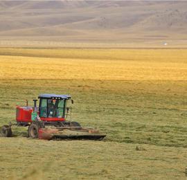 """航拍祁连山下21万亩""""铃铛麦""""迎丰收"""