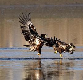 """新疆开都河发现国家一级保护动物""""金雕"""""""