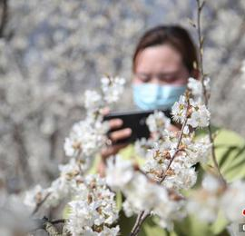 贵州纳雍:万亩樱桃花竞相绽放