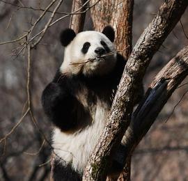 春光明媚熊猫萌
