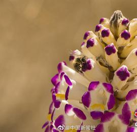 新疆塔克拉玛干沙漠里花开如春!且末县万亩肉苁蓉开花