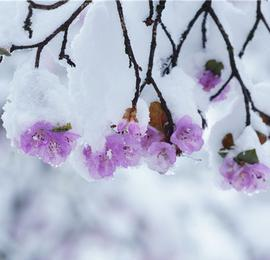 玉龙雪山最美季节 漫山杜鹃娇艳绽放