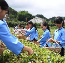 湖南宁乡:乡村学校的茶艺课