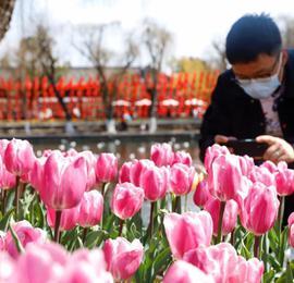 云南昆明:郁金香花展贺新春