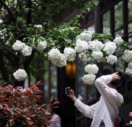 南京绣球花盛开 吸引市民打卡