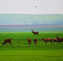 湖北石首:成群麋鹿在草地上栖息觅食