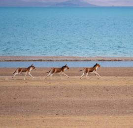 你认识几种?西藏羌塘野生动物成群
