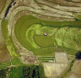 航拍广西来宾收割季节的梯田 线条如天然画卷