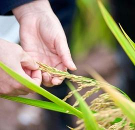 袁隆平团队第三代杂交水稻双季稻亩产超1600公斤