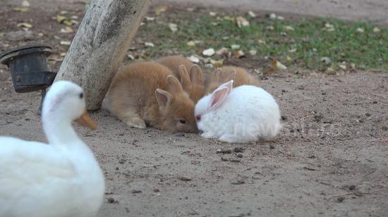 视频:大白鸭半路抢食 呆萌小兔茫然不知