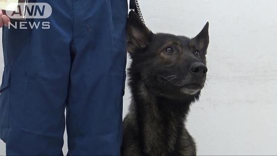 日本警犬及时寻回离家出走少女 被授予奖状