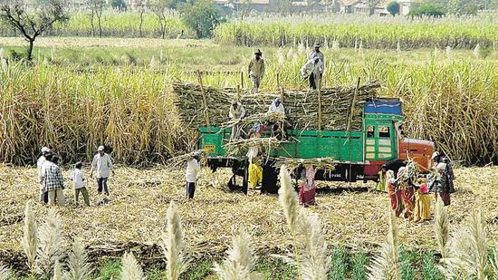 ▲原糖是印度对华出口的重要产品。(印度时报)
