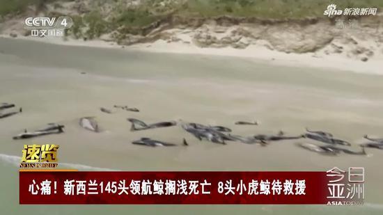 视频|新西兰145头领航鲸搁浅死亡 8头小虎鲸待