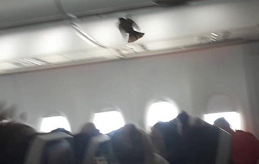 """小鸟坐飞机""""偷渡"""" 还把行李架当专座"""